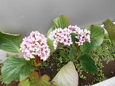 雪の下花1
